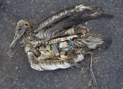 albatross_garbage_patch
